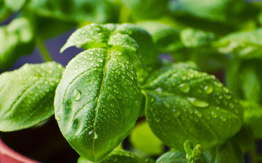 herbs-image6